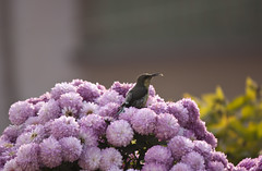 Purple-rumped Sunbird (Sandeep Santra(Searching Jobs ~ A Bit busy)) Tags: flowers india west flower macro bird closeup canon garden photography eos interestingness interesting flickr bokeh birding nights bengal 1001 sunbird 550d purplerumped moutushi flickraward mygearandme sandeepsantra