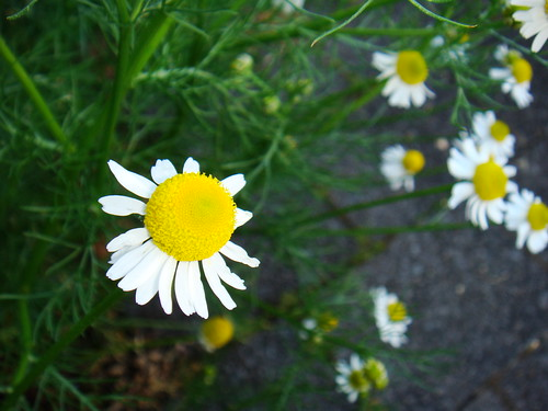 A chamomile flower by they_may_have_joy