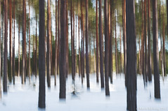 In the Forest (mmoborg) Tags: trees abstract blur forest sweden skog sverige dalarna träd abstrakt oskärpa 2011 cameramove rörelseoskärpa thepinnaclehof mmoborg mariamoborg tphofweek97 tphofscore5008