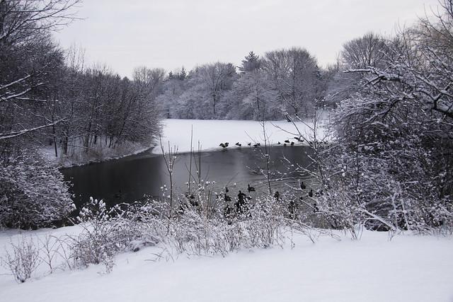 snowy geese2