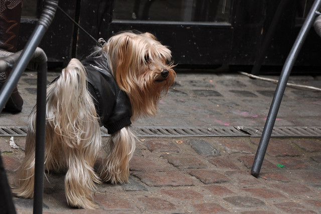 bad to the bone yorkie