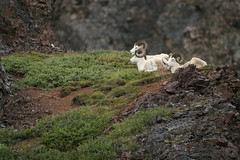 Dall sheep-7.jpg