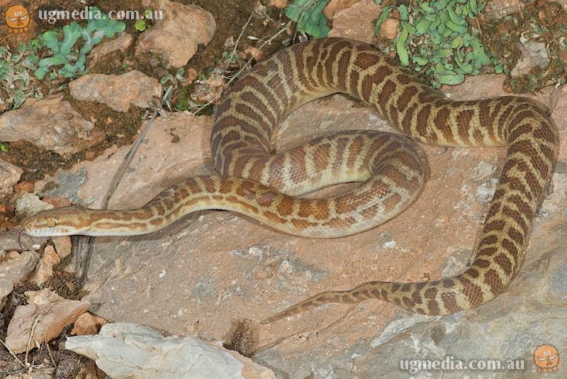 Stimson's python (Antaresia stimsoni)