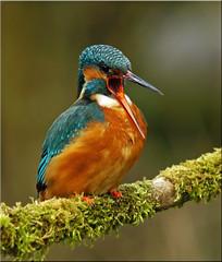 Say Ahhh! (Alex Berryman) Tags: blue orange bird nature fauna river march natural bright britain fast kingfisher british elctric
