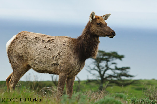 Female tule elk in Point Reyes National Seashore - Pat Ulrich Wildlife Photography