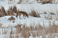Coyote DSC_5078 (Mully410 * Images) Tags: coyote winter dog snow cold ice k9 canislatrans prairiewolf tcaap ahats twincitiesarmyammunitionplant americanjackel tcaapwva ardenhillsarmytrainingsite twincitiesarmyammunitionplantwildlifeviewingarea