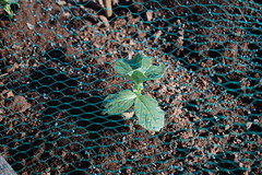 11 03 13_broad_beans_0006