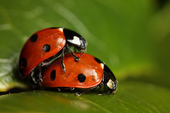 Mating 7-spot ladybirds #2 (Lord V) Tags: macro bug insect ladybird mating 7spot