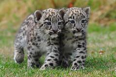 [フリー画像] 動物, 哺乳類, ネコ科, 豹・ヒョウ, 雪豹・ユキヒョウ, 201103190500