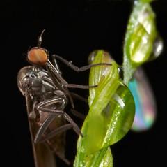 Marsh fly (Empididae) (pbertner) Tags: cloud macro fly ecuador rainforest insects biology mosca entomology