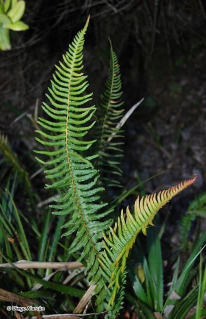 <br><br>Ejemplar de <i>Blechnum hastatum</i> que crece en los bosques de Hualpén, Región del Biobío.