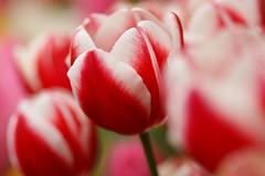 Please Donate For Japan Earthquake (nobuflickr) Tags: nature japan flow kyoto tulip   thekyotobotanicalgarden tulipagesneriana