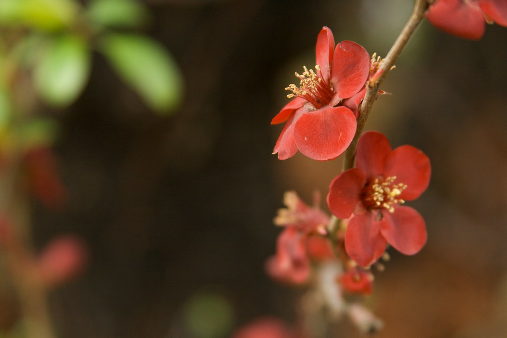 chaenomoles japonica closeup