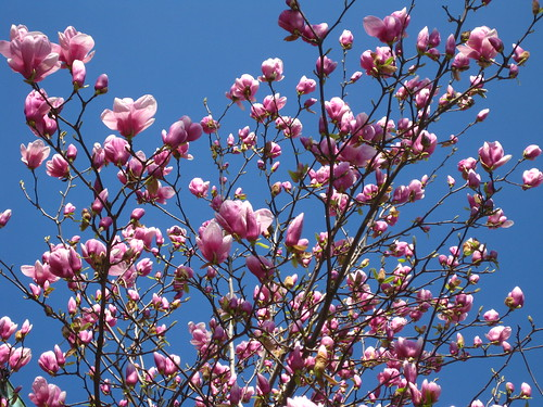 Magnolias on the First Day of Spring
