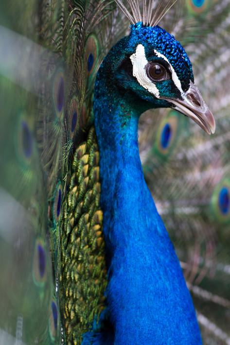 031811_peacock03