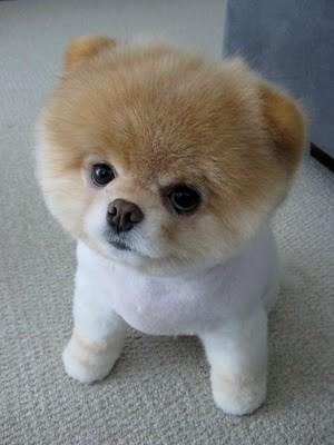 boo_Pomeranian_Dog_31
