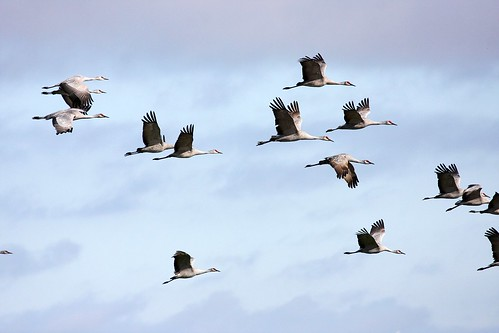 sandhill crane dave harper oakley