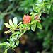 pomerganate flower