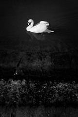 Black Water (Phil W Shirley) Tags: bw white black water river bedford waterfall swan great ouse embankment wier