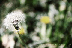 wishing well (rebeccakirstin) Tags: plants nature grass dof bur dandelion wish wishing wishingwell
