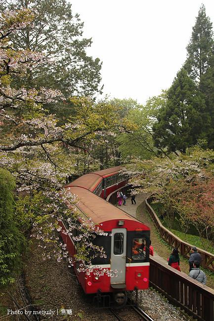 阿里山櫻花季陰天版32