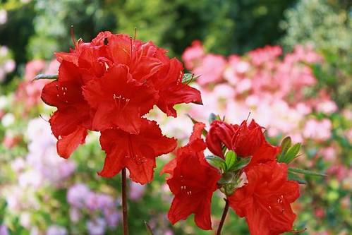 close up of beautiful red flower