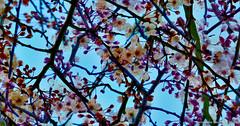 ciruelo.... (ojoadicto) Tags: ciruelo arbol flores flower tree flowers ramas nature naturaleza digitalmanipulation artisticphotography