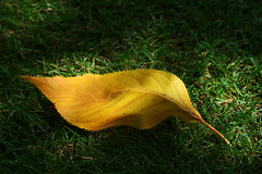 In the shade (Zozu9) Tags: leaf yellowleaf grass ground green discarded nature