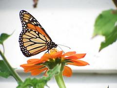 Last of the Kings? (kendoman26) Tags: monarchbutterfly mexicansunflower fuji fujifinepix fujifinepixs1 sooc