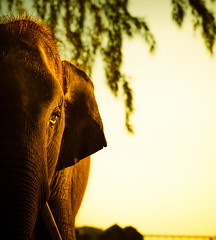 Wise Elephant (Stuck in Customs) Tags: krabi stuckincustoms thailand treyratcliff dusk sunset newyear 2015 p2016 december hasselblad phulaybay colour color horizontal night nighttime hdr hdrphotography dailyphoto rr lights glow 30days2016 bridge river hotel ritzcarlton black green blue yellow brown white scarlett daughter fairy pathway h5d outdoor elephant koko pet vertical outside outdoors day daytime tellow orange animal rescue