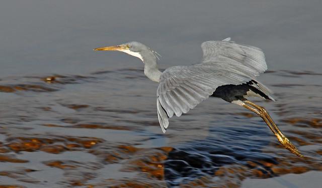 2011_01_21_011804 western reef egret flight Crop