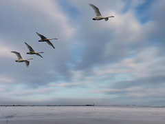 Tundra swans in an arctic flight (Bn) Tags: winter lake cold holland bird netherlands birds fly frozen flying swan topf50 day cloudy wildlife vlucht flight arctic swans siberia breeding wetlands temp