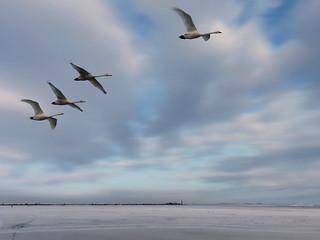 Tundra swans in an arctic flight