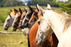 Reservados (Eduardo Amorim) Tags: horses horse southamerica criollo caballo uruguay cheval caballos cavalos pferde cavalli cavallo cavalo pferd pampa hest hevonen chevaux  amricadosul hst uruguai  amriquedusud   sudamrica suramrica amricadelsur  sdamerika crioulo caballoscriollos criollos   americadelsud tacuaremb  crioulos cavalocrioulo americameridionale caballocriollo eduardoamorim cavaloscrioulos iayayam yamaiay fiestadelapatriagaucha departamentodetacuaremb pampauruguaio pampauruguaya