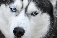 ice-blue eyes (christiaan_25) Tags: blue dog white black beautiful beauty face fur nose grey eyes husky calm piercing siberianhusky stare musher gaze sleddog snout iceblue babyblues sedate wolflike canislupusfamiliaris chukcha worldsbestnikonshot sibirskiyhaski chuksha  oneoftheoldestdogbreeds