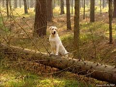 Abi -168 dzień - W leśnych ostępach (Nenuu.) Tags: dog forest landscape labrador poland polska retriever pies abi jesień zwierzęta krajobraz podlesie zelów