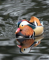 Is My Head That Big ? Explored (claylaner) Tags: reflection water duck cheshire mandarin drake aixgalericulata etherow mygearandme mygearandmepremium mygearandmebronze