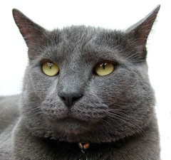 Davey handsome boy (harleyannie) Tags: pet cute cat grey feline sweet gray handsome kitty davey impressedbeauty