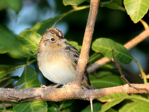 Grasshopper Sparrow 20110202