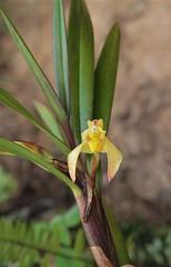 Maxillaria sp. (Orchidaceae)