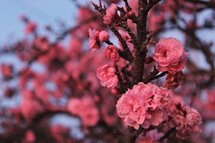 First Blossoms (skipmoore) Tags: cherry spring blossom explore