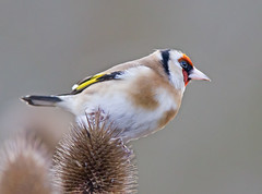 Goldfinch view (Andrew Haynes Wildlife Images ( away for a while )) Tags: bird nature goldfinch coventry warwickshire brandonmarsh canon7d ajh2008