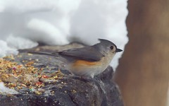 Motivated by Hunger, Emboldened by Food (Velocity of Sound) Tags: winter snow bird centralpark bigma handheld titmouse 500mm f11 northwoods tuftedtitmouse iso1250 supertelephoto processedfromraw olympuse3 sigma50500mmf4063apodghsm optimalaperture