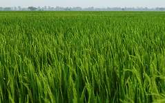 Rice Field (bmahesh) Tags: green rice ricefield