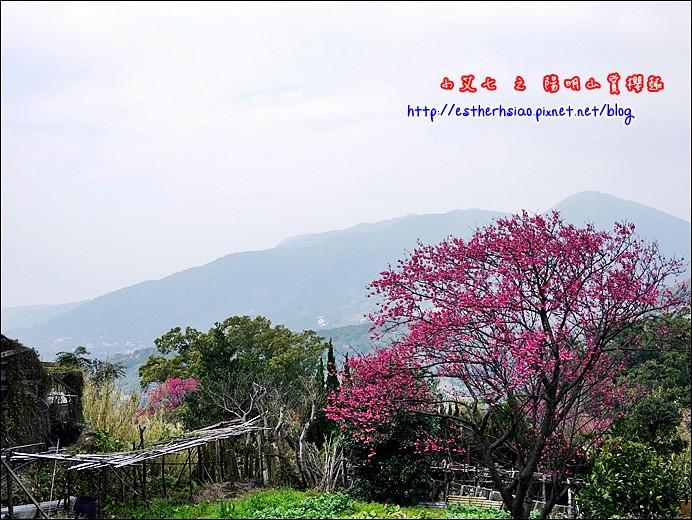 5  文化大學華岡路櫻花