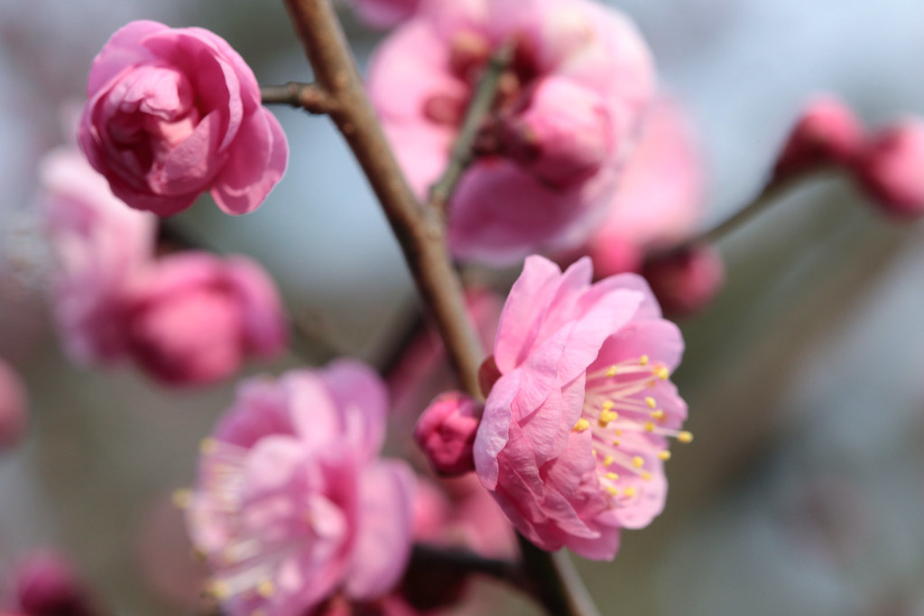 Plum blossoms at Banpaku-kinen-koen