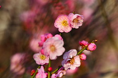 - Plum Blossoms - Taichung City municipal Shuang-Shih Junior High School (prince470701) Tags: taiwan plumblossoms  sony100mm sonya850  taichungcitymunicipalshuangshihjuniorhighschool