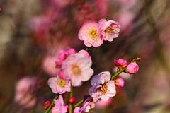 梅開雙十 - Plum Blossoms - Taichung City municipal Shuang-Shih Junior High School (prince470701) Tags: taiwan plumblossoms 梅花 sony100mm sonya850 台中市雙十國中 taichungcitymunicipalshuangshihjuniorhighschool