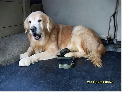 「支援助認養」桃園大園機場附近救援的黃金獵犬小姐~基本健檢有愛麗西體,目前隔離中~需要醫療資源助認養,謝謝您~20110210