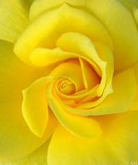 Freesia Rose Close Up (YingDude) Tags: flower rose yellow nikon yellowflower yellowrose freesia closeuprose freesiarose